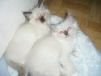 Ragdoll Kittens  Awesome Male and female