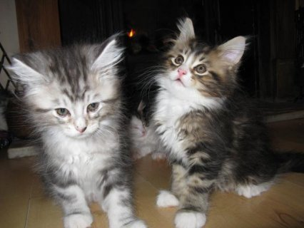 male and female Maine Coon Kittens for Adoption   I am looking f
