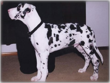 صور Cute Great dane puppies for your home 1