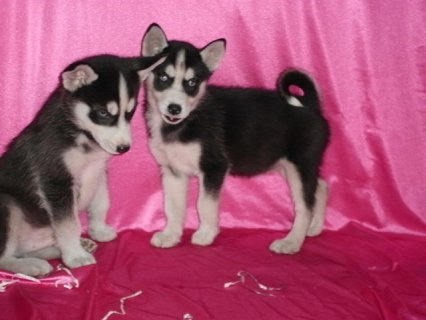 صور  Blue eyes Siberian Husky puppies for adoption 1