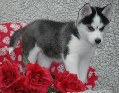 Excellent AKC Siberian Husky Puppies for Loving Homes