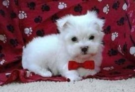 Beautiful White Teacup Maltese puppies222