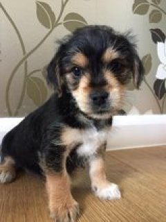 Miniature yorkie pups for adoption