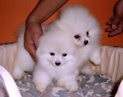 Beautiful pure breed pedigree white pomeranians male and female