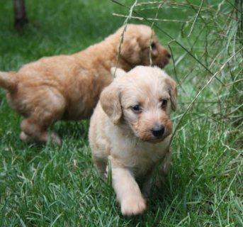 صور Golden Retriever Puppies For Adoption 1