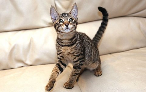 Gorgeous Savannah Kittens For Adoption