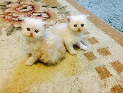 صور Gorgeous little White Persian Female/Male  1
