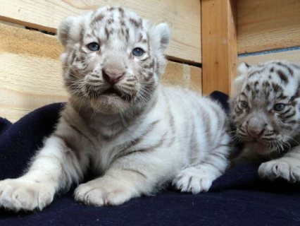 صور Pure White Siberian  Tiger Cubs available 1