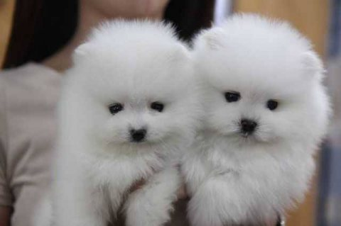 صور Luxury Pedigree Pomeranian For Sale. 2