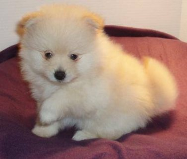 صور Luxury Pedigree Pomeranian For Sale. 3