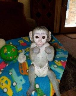 Sweet Capuchin Monkeys For sale