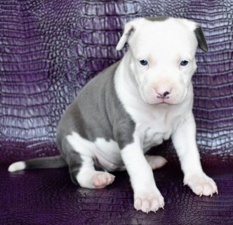 صور Pitbull puppies for sale  1