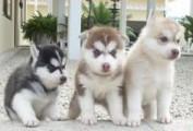 wonderful husky puppies