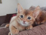Siberian Kittens Available for your lovinga homes