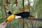 Toco Toucans Pair!