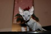 Registered male and female Sphynx Kittens