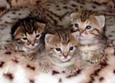 Male and female African Serval Kitten For Sale
