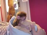 Little Sweet Marmoset Monkey   We have female Marmoset monkey fo
