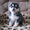 Three Siberian Husky puppies available for sale111