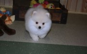 Luxury Pedigree Pomeranian For Sale.